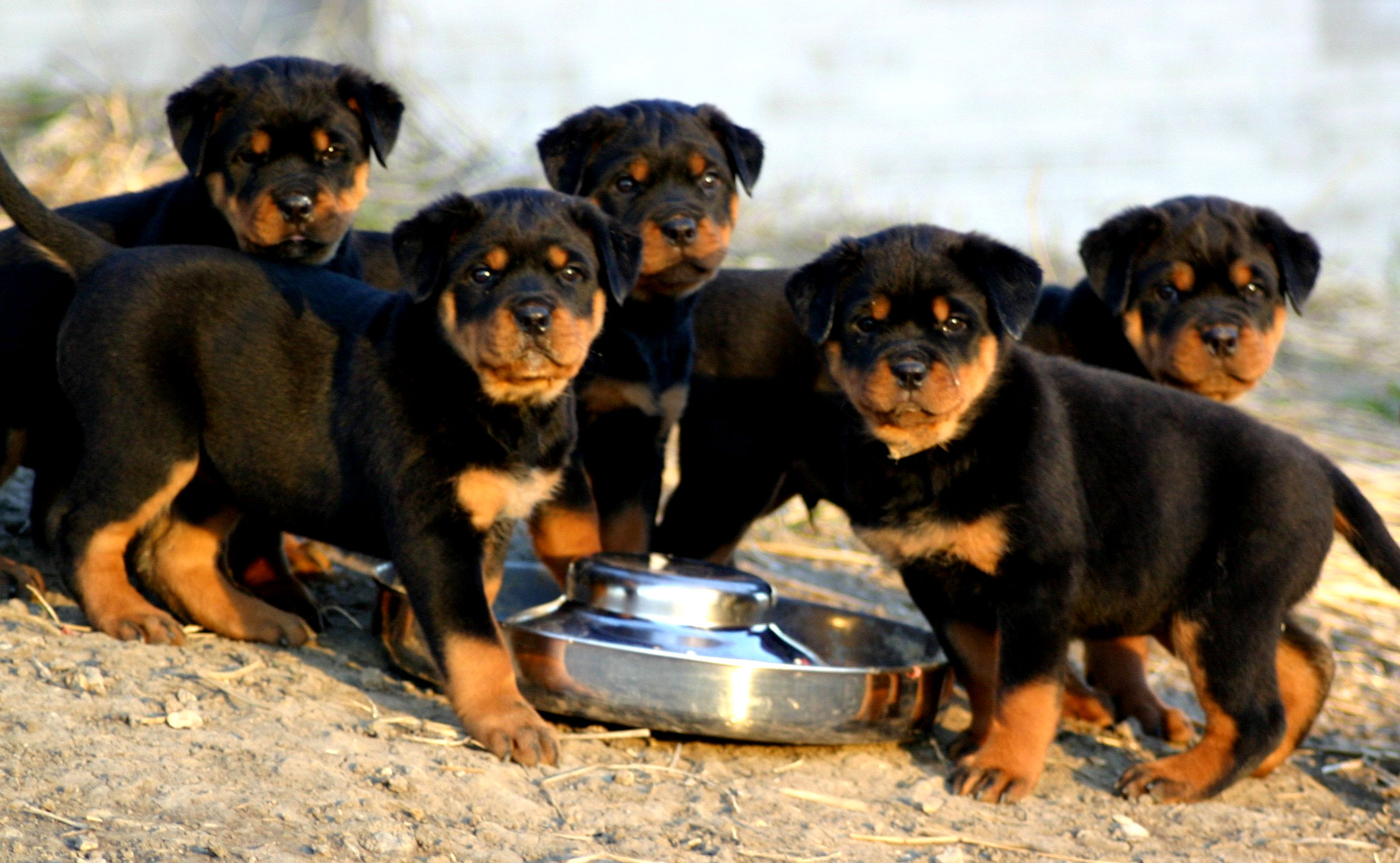 Rottweiler Puppies Photo And Wallpaper Beautiful Rottweiler Puppies