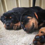 Schutzliebe Puppies